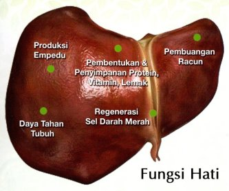 fungsi organ hati