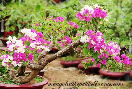 Cara Mengolah Bunga Kertas Menjadi Obat Alami