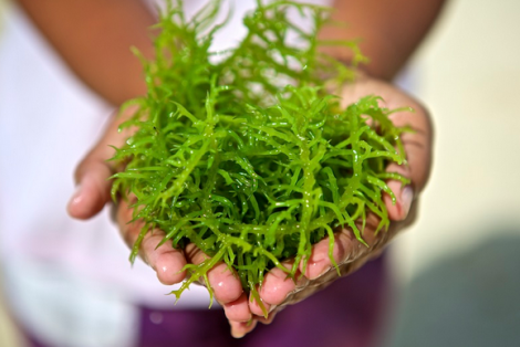 Mengenal Khasiat dari Rumput Laut Bagi Tubuh