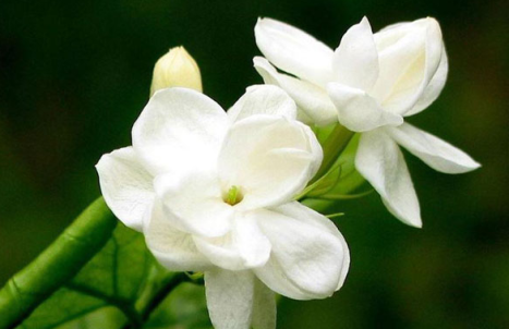 Kumpulan Manfaat Bunga Melati Bagi Kesehatan Tubuh