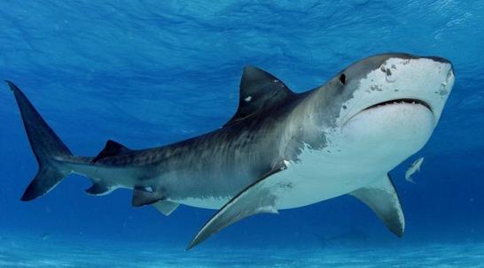 kandungan-hati-ikan-hiu-untuk-penderita-hepatitis-c